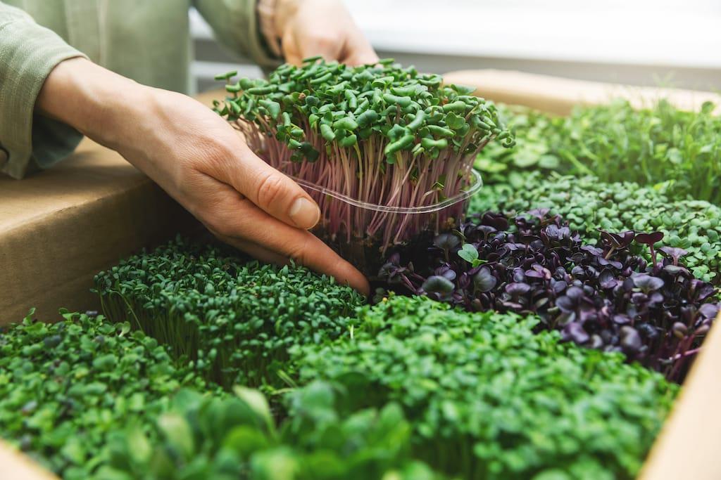 Microgreens: Superfood aus den eigenen vier Wänden.