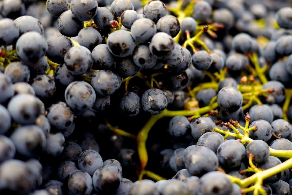 Weintrauben: Die Powerbeeren des Spätsommers.